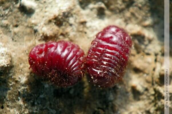 cochineal beetles