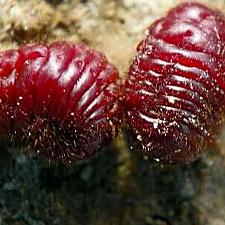 thumb beetles